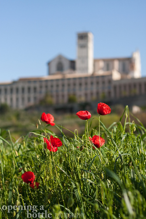 Red poppies bloom in the morning in front of Basilica di San Francesco (Church of St. Francis) below Assisi, Umbria, Italy.