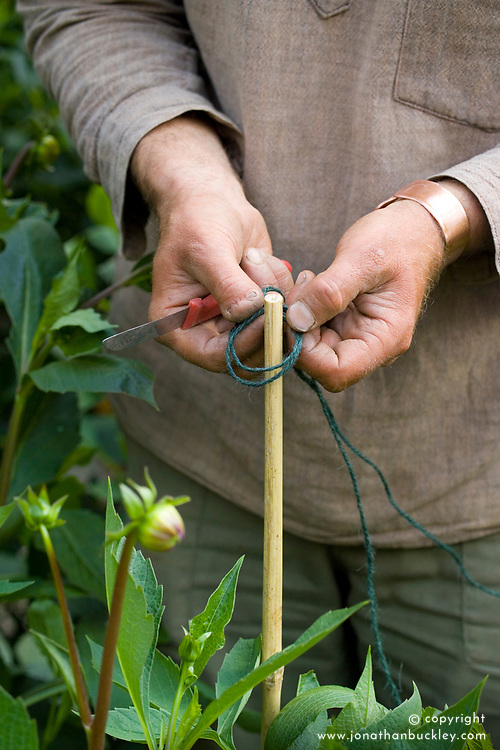 Staking dahlias. Demonstrating clove hitch knot using garden twine