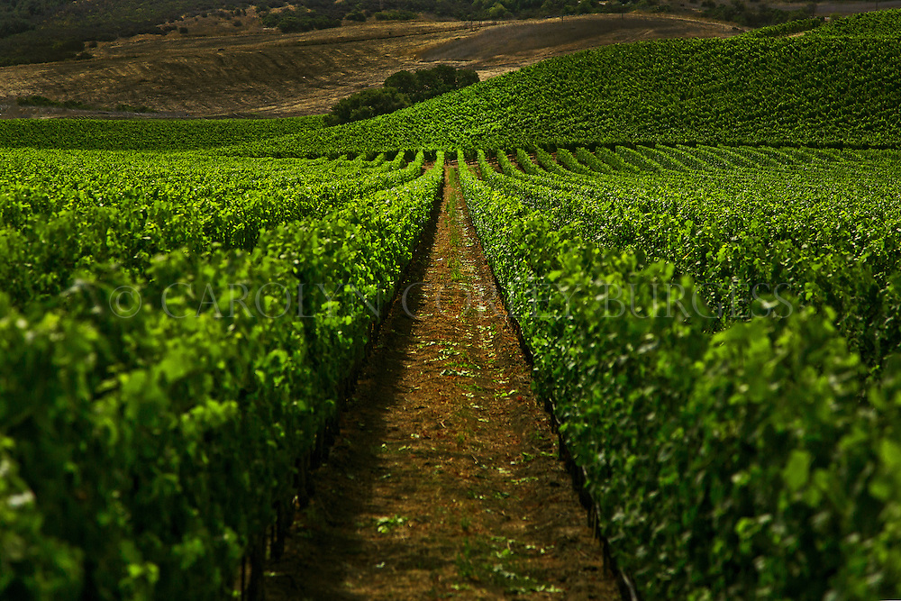 Fiddlestix Vineyard in the Santa Rita Hills