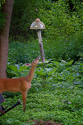 The white-tailed doe realized that by tilting the bird seed holder the food would fall out a little.