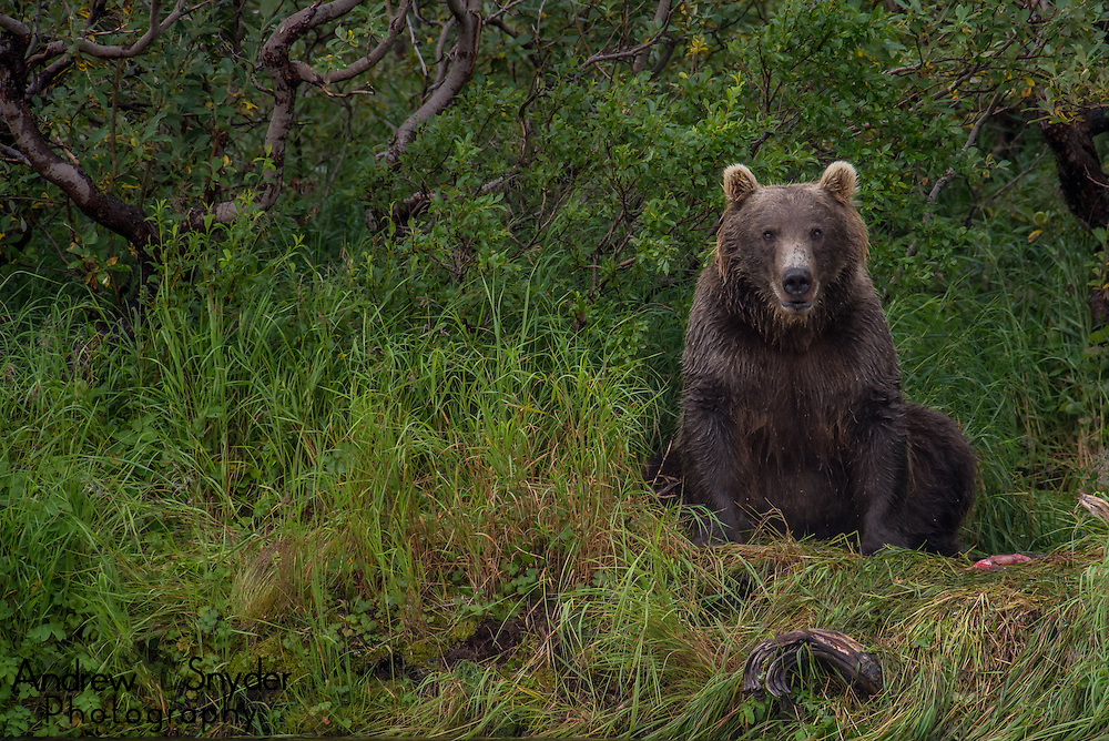 A female brown bear (Ursus arctos) sits on the side of the river - Katmai, Alaska