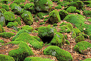 Moss covered rocks and dry leaves on forest floor, Yosemite Valley, Yosemite National Park, California