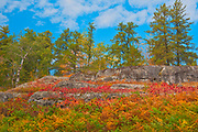 Sumac in autumn at edge of boreal forest<br />Kenora<br />Ontario<br />Canada