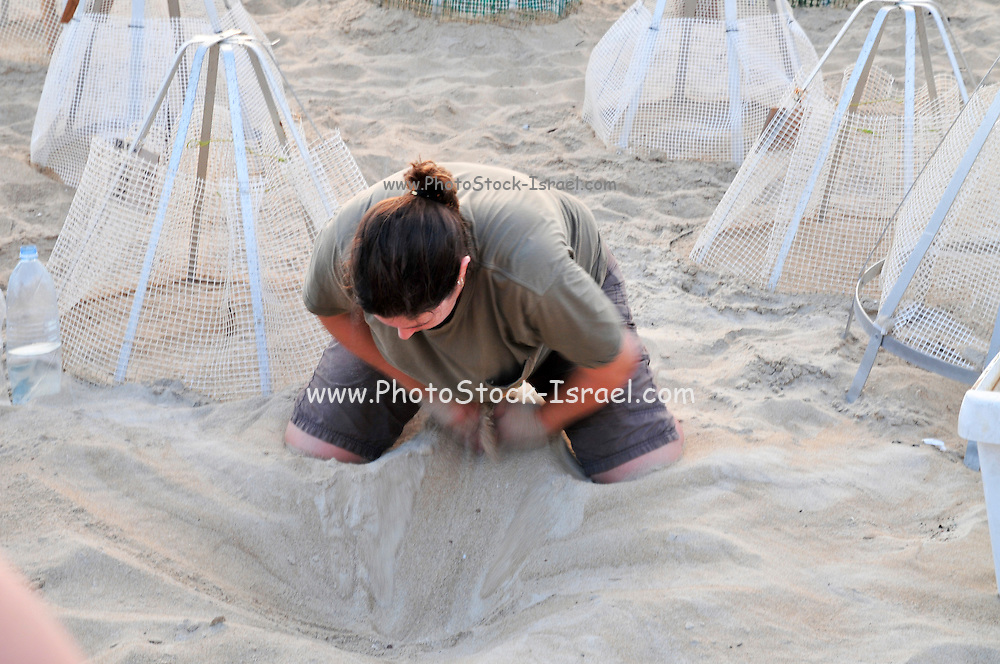 Israel, Atlit, Volunteers release green turtles, Chelonia mydas, after hatching for their first voyage to the Mediterranean Sea. Special markings mark the egg deposit sites. Volunteer digs out the hatchlings