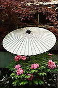 Peonies, rice paper umbrella and Japanese maple in the Peony garden in Edo park, Tokyo