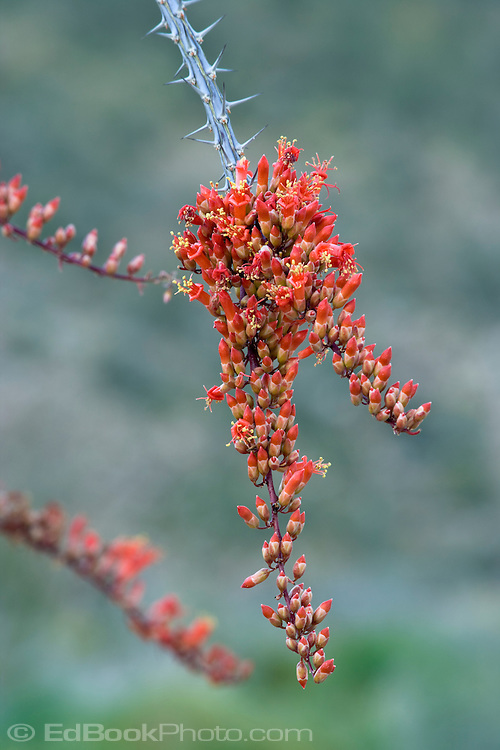 Ocotillo (Fouquieria splendens) blooming in the Anza-Borrego Desert State Park, California, USA