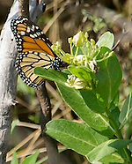 Monarch Butterfly Roadside Habitat with ODOT