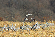 Sandhill cranes landing in cut corn field.
