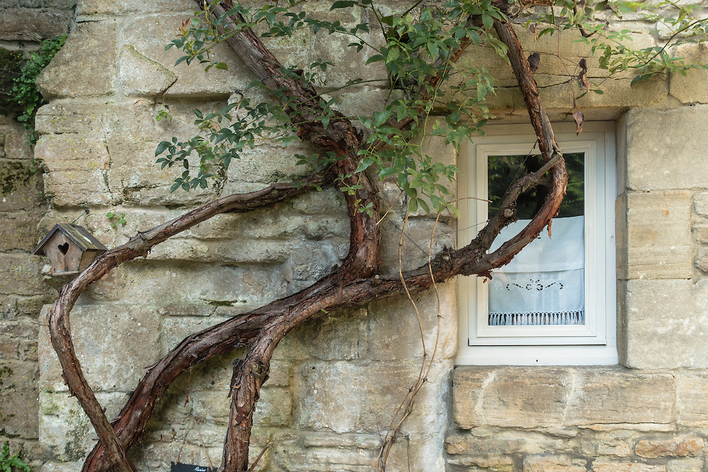 Old weathered vine with green leaves climbs stone wall of house in Vaison-la-Romaine, Provence, France. A small window with a white lace curtain is seen on the wall, while a wooden bird house with a heart shaped entrance is perched on the vine.