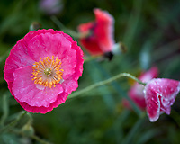 Pink Poppy. Image taken with a Leica CL camera and 35 mm f/1.4 or 60 mm f/2.8 lens