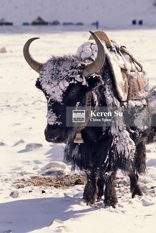 Himalayan yak in Rongbuk Glacier enroute to Mt. Everest, Tibet, China