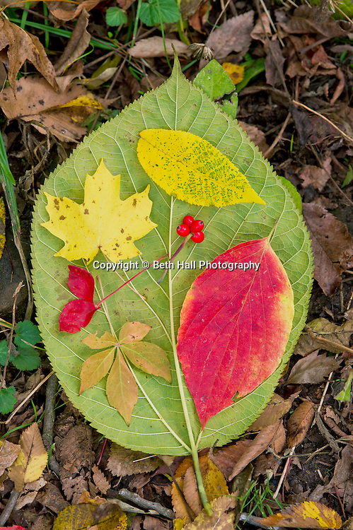 Fall leaves in Boxley Valley near Jasper and the Buffalo River in Arkansas.