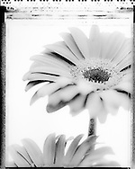 Gerbera shot using Polaroid Type 55 film