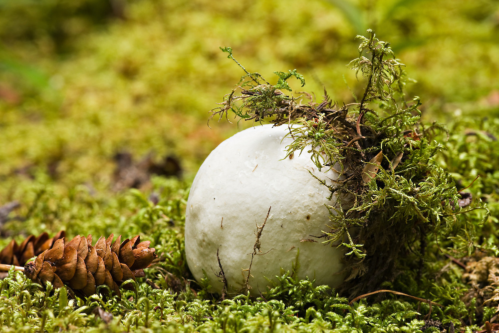 A golfball-sized mushroom emerges from the moss of the forest floor of Tetlin National Wildlife Refuge in the Interior of Alaska.  Summer.  Evening.