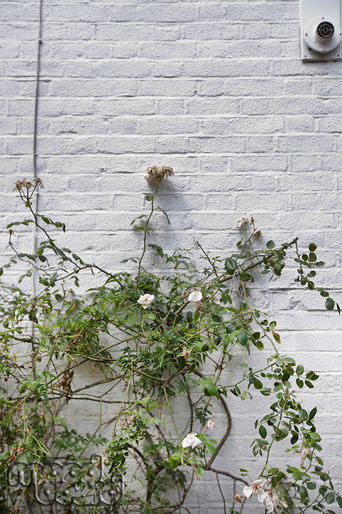 Plant growing against white brick wall