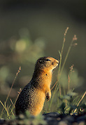 Arctic Ground Squirrel, Ground Squirrel, Squirrel, Denali National Park, Alaska