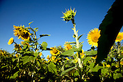 a budding sunflower directed to the sun in a field with open sunflowers