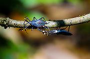 Heteroptera bugs in the amazonian rain forest