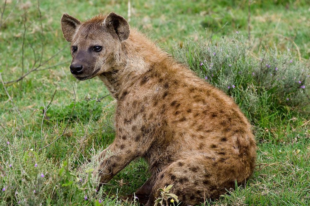 (Crocuta crocuta) Ngorongoro Conservation Area, Tanzania