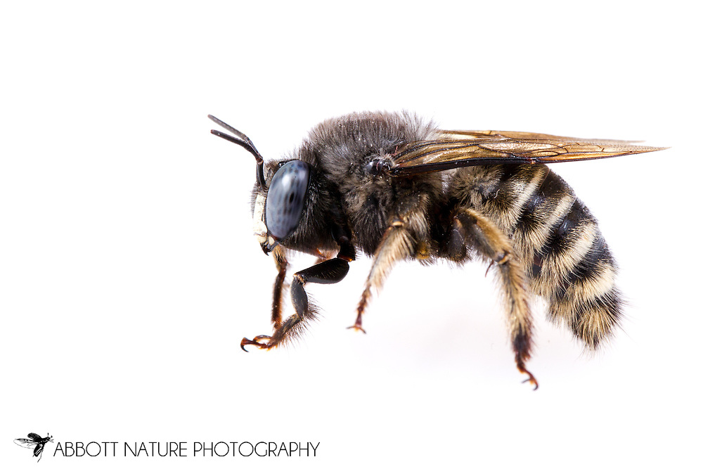 Horsefly-like Carpenter Bee (Xylocopa tabaniformis)<br /> TEXAS: Williamson Co.<br /> Cedar Park<br /> 26-April-2015<br /> J.C. Abbott &amp; K.K. Abbott