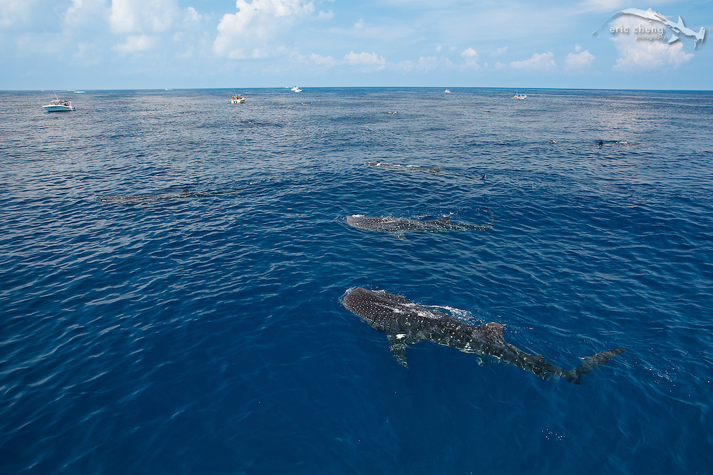 Whale sharks aggregate to feed on bonito spawn off of Isla Mujeres, Mexico. Photos: Eric Cheng - http://echeng.com
