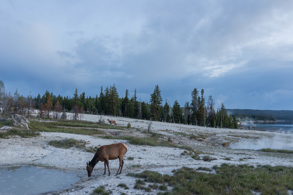 Elk wander around the thermal pools of West Thumb Geyser Basin in Yellowstone National Park