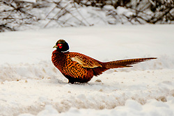 Male pheasant on a snow covered country road, South Lanarkshire, Scotland<br /> <br /> (c) Andrew Wilson | Edinburgh Elite media