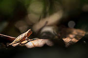 A Leaf Chameleon (Brookesia superciliaris) exploring the forest floor.