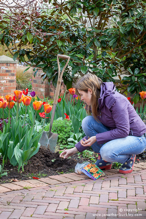 Planting summer flowering bulbs (gladioli) in a border in spring