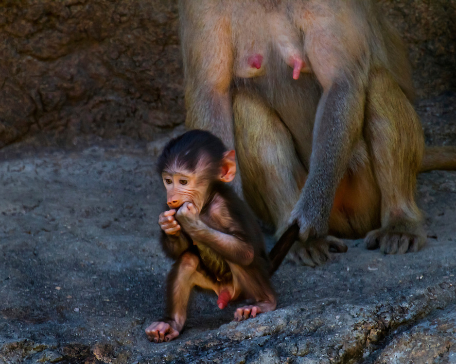 Baboons moms clearly have an advantage over human moms in some areas!