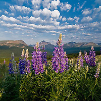 wild purple lupine, under a storm clearing sky and over rising wolf  mountain in glacier national park, montana crown of the continent, usa