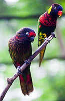 Yellow Streaked Lory and Rainbow Lorikeet