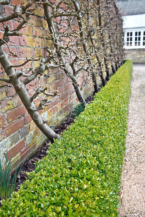 Pear cordons and Buxus sempervirens (box) hedge in the Walled Garden at West Dean Gardens