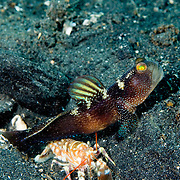 Barred Shrimpgoby Cryptocentrus fasciatus and symbiotic shrimp  at, Lembeh Straits, Indonesia.