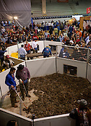 SWEETWATER, TX - MARCH 14: Jaycees volunteer snake handlers work in the snake pit filled with western diamondback rattlesnakes brought in by hunters during the 51st Annual Sweetwater Texas Rattlesnake Round-Up, March 14, 2009 in Sweetwater, Texas. Approximately 24,000 pounds of rattlesnakes will be collected, milked for venom and the meat served to support charity. (Photo by Richard Ellis)