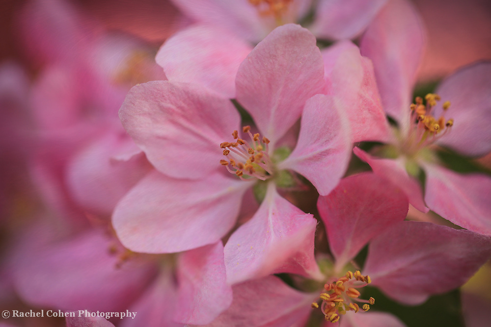 &quot;Baby Oh Baby&quot;<br /> <br /> Gorgeous pink blossom macro with a slight swirl!