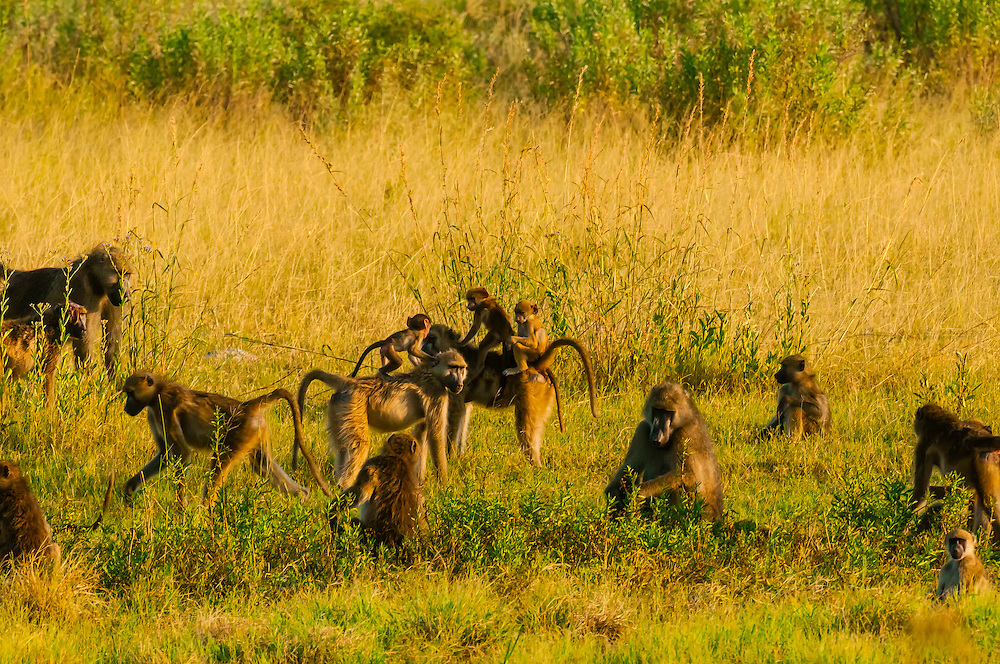 Troop of baboons, Linyanti Marshes, Botswana.