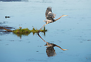 Catching this Great Blue Heron's moment of take off.  I love how the toes are just leaving the perch