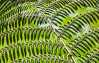 A fern in the Golden Gate Park Botanical Gardens, San Fransisco, California, USA