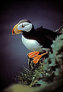 The horned puffin is an auk, similar in appearance to the Atlantic puffin. It is a pelagic seabird that feeds primarily by diving for fish. It nests in colonies, often with other auks.