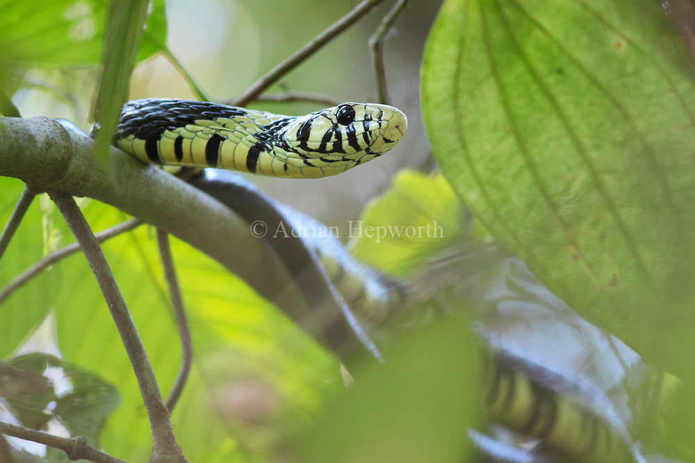Tiger Rat Snake (Spilotes pullatus) in rainforest tree. Corcovado National Park, Osa Peninsula, Costa Rica. <br />