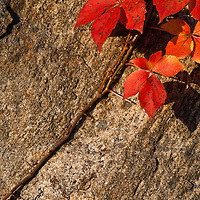 An autumn Virginia creeper (Parthenocissus quinquefolia) vine climbs across an exposed rock, Shenandoah National Park, Virginia.