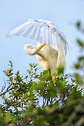 Great Egret preening before flight on a live oak tree in Corolla, NC.