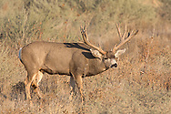 A gigantic non-typical mule deer buck follows a doe during the fall rut.