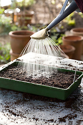 Sowing moluccella seeds into a seed tray - watering in