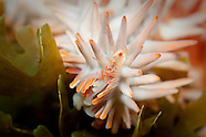 Acanthaster planci (Crown of thorns starfish)