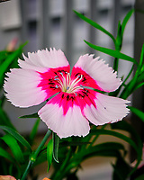 AeroGarden Farm 03-Right. Dianthus Flower. Image taken with a Fuji X-T3 camera and 80 mm f/2.8 macro lens (ISO 160, 80 mm, f/8, 1/60 sec).