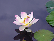 Pink Lotus With Dragon Fly ~ open pink lotus flower in a pond in a botanical garden.  A dragon fly lands on one of the petals to rest.  <br />
