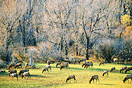 Elk herd & cottonwood grove along the Missouri River in fall. CM Russell National Wildlife Refuge, central Montana.