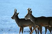Deers - Hjort - rådyr